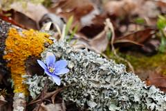 Blåsippa (evisdotter) Tags: blåsippa anemonehepatica flower blomma spring nature lav lichen macro bokeh sooc