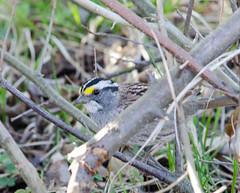White Throated Sparrow (Neil DeMaster) Tags: sparrow bird songbird nature wildlife conservation njbird njwildlife njnature whitethroatedsparrow