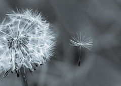 new beginnings (Emma Varley) Tags: dandelion head seed clock floating flying away lettinggo air flower wild seeds