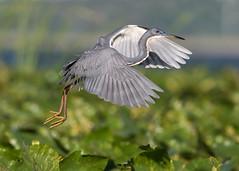 Tricolored Heron (PeterBrannon) Tags: bird egrettatricolor florida hunting nature pose water wildlife jumping redeye tricoloredheron wetlands breedingplumage