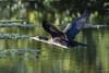 Cormorant (Shane Jones) Tags: cormorant seabird bird birdinflight wildlife nature nikon d500 200400vr tc14eii