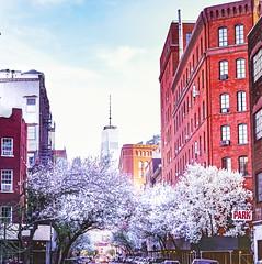 Cherry Blossoms in New York City (Vivienne Gucwa) Tags: newyorkcity nyc cherryblossoms cherryblossom wtc worldtradecenter street urban newyorkcityphotography newyorkcitystreet trees viviennegucwa viviennegucwaphotography