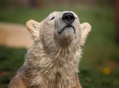 Polar Bear (Paul A Wiles) Tags: polar bear white yorkshirewildlifepark