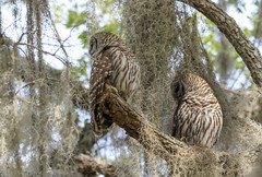BARRED OWL (Robert Strickland) Tags: striped animal animals avian barred barredowl beak bird birdofprey birds branch fauna feather flying forest hoot hunter nature nocturnal outdoors owl owlet perched predator prey raptor talon tree wild wildlife wing beverlyhills florida usa us