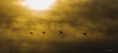 IMG_1586 sandhill cranes (starc283) Tags: starc283 sandhillcranes canon canon7d cranes wildlife nature naturesfinest nebraska migration
