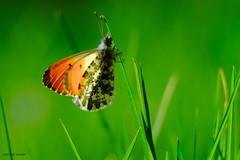 Aurore. (jpto_55) Tags: papillon papillonaurore macro bokeh xe1 fuji fujifilm fujixf55200mmf3548rlmois hautegaronne france ngc