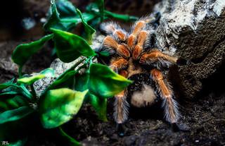 Spider - Arachnida