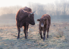 Encouragement (Ingeborg Ruyken) Tags: 500pxs empel kanaalpark calf contrast cow dawn dropbox flickr koe maart march natuurfotografie ochted outline rodegeus sunrise winter zonsopkomst