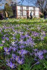 IMG_92 (schaffnerjoggl) Tags: frühling blüten bunt farben hermannshof schausichtungsgarten weinheim deutschland krokus