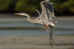 Catching some air (ChicagoBob46) Tags: greatblueheron blueheron heron bird florida bunchebeach nature wildlife ngc