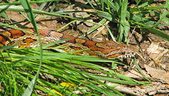 Corn snake (Pantherophis guttatus) - lifer! (Vicki's Nature) Tags: cornsnake snake orange brown spots pattern ground grass reptile pigeonmountain georgia vickisnature canon s5 7389