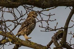 little owl (colin 1957) Tags: litt littleowl owl birdofprey