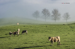 Orduña (Jabi Artaraz) Tags: jabiartaraz jartaraz zb euskoflickr orduña campa campo rebaño vacas verde primavera udaberria árboles niebla bruma zuhaitzak behiak