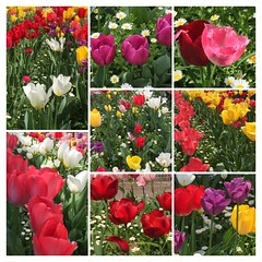 Beautiful tulip - collage (eyawlk60) Tags: tulip spring red yellow white purple color collage 春 チューリップ 赤 黄 紫 白 寝屋川市