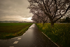 It's rainy. (Yasuyuki Oomagari) Tags: rainy sakura cherry pink cherryblossom bloom road roadside nikon 24mmf14g nikkor rain