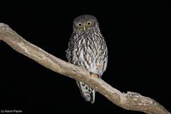 Barking Owl (Ninox connivens) (Heleioporus) Tags: barking owl ninox connivens new england region south wales