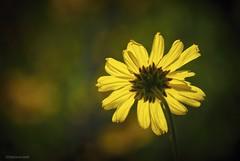 It's on.... (Joe Hengel) Tags: itson danapoint darkness theoc orangecounty oc outdoor yellow flower bokeh goldenstate california ca 7dwf spring headlands danapointheadlands yellowyellow