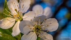 Cherry blossom (Milen Mladenov) Tags: 2017 d3200 nikon sunrise blossom branch cherry cherryblossom flowers leaf leafs leaves rays spring stamens sun sunlight изгрев пролет слънчевилъчи цвят черешовцвят
