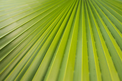 leading lines [Day 3037] (brianjmatis) Tags: green nature palm photoaday plant project365