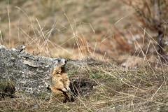 LEO_8098m (MILESI FEDERICO) Tags: milesifederico milesi montagna italia italy iamnikon inmontagna piemonte piedmont primavera wild nikon nikond7100 nital natura nature nat visitpiedmont valdisusa valsusa valledisusa valliolimpiche alpi alpicozie altavallesusa altavaldisusa europa europe d7100 dettagli 2017 cittàmetropolitanaditorino salbertrand fauna animale wildlife mammifero