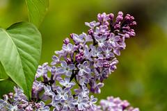 (Floramon) Tags: flieder frühling spring lilac lila purple pflanze plant blume flower blossom blüten