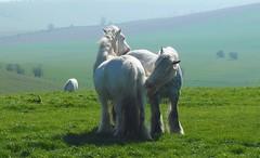 Ridgeway 4th-10th April 2017 - 80 of 103 (davidpetergibbins) Tags: ridgeway ponies horses