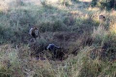 (atlas1gp) Tags: safari southafrica lionhunt hunt lion krugerpark