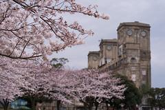 sakura and building (kasa51) Tags: cherryblossom sakura oldbuilding yokohama japan さくら 桜 サクラ 旧横浜競馬場一等馬見所