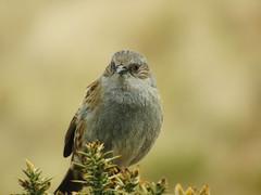 Dunnock (Kimi Lovac) Tags: dunnock bird wildlife wild scotalnd pentalnd hills