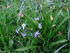Hyazinthe - Hyacinthus orientalis, NGID296987194 (naturgucker.de) Tags: ngid296987194 naturguckerde hyazinthe hyacinthusorientalis 649561984 2128523129 837121265 chorstschlüter