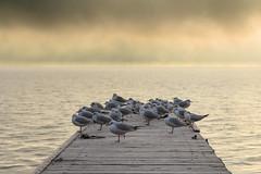 Die Möwenplatform (Fotos4RR) Tags: möwe gull pier seebrücke see lake salzkammergut wintermorgen winter wintermorning fog nebel möwen gulls vogel bird vögel birds landungsbrücke