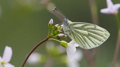 Green-veined white - klein geaderd witje (nikjanssen) Tags: greenveinedwhite kleingeaderdwitje pierisnapi pinksterbloem vlinder butterfly nature macro spring cuckooflower explore