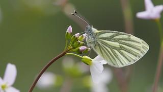Green-veined white - klein geaderd witje