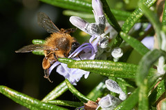 Miner bee on rosemary flower (Lord V) Tags: macro bug insect bee minerbee