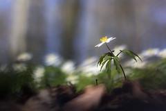 Le règne de Sylvie (Fabien Husslein) Tags: anemone nemorosa sylvie fleur flower art nature bokeh printemps spring foret wood macro