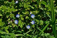 DSC_0732 (Me now0) Tags: spring park europe nikond5300 1855mmf3556 basiclens afternoon пролет никонд5300 китовобектив софиябългарияевропа юженпарк forgetmenot незабравка дивоцвете wildflower