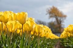 DSC_1766 (nicoooooh) Tags: tulips tulpen flowers holland flowerfields flower tulipfields