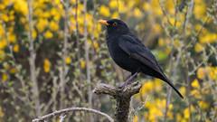 Blackbird, (Turdus merula). (PRA Images) Tags: blackbird turdusmerula birds wildlife nature breakwatercountrypark holyhead anglesey