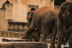 Erlebniszoo Hannver 15.04.2017 015 (Fruehlingsstern) Tags: eisbären polarbear sprinter melana elefanten seelöwen weiskopfseeadler yukonbay erlebniszoohannover hannover canoneos750 tamron16300 zoo