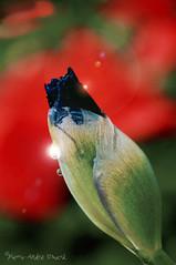 """l'Éclosion ... ( P-A) Tags: bouton éclosion éclat coquille enveloppe nature fleur épanouissement naissance printemps saison chaleur couleurs parc visiteurs touristes éveil photos simpa© """"nikonflickraward"""""""