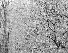 Osterschnee / Easter snow (wwwuppertal) Tags: hagen hagenambrock westlichessauerland nordrheinwestfalen northrhinewestphalia nrw frühling frühjahr spring april aprilwetter aprilweather schnee snow wald forest wood bäume trees äste branches sonyalpha6000 sonyilce6000 sigma60mmf28dn art sw bw blackandwhite noiretblanc blancetnoir schwarzweis monochrome monochrom