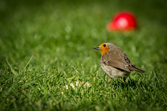 Blush Pear Snack (Merrik76) Tags: robin erithacusrubecula pear blush bartlett williams essex garden britishwildbirds bird green red grass