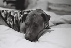 Dog in the bed (pete1207) Tags: asahipentaxspotmatic supertakumar supertakumar55mm blackandwhite 35mm ilfordhp5plus400 selfdeveloped d76