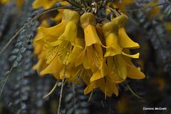 Saphora cassionides. (mcgrath.dominic) Tags: saphoracassionides yellowflowers botanicgardens kilmacurragh cowicklow