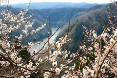 Japanese ume blossom (Yam@chan) Tags: japan nara tsukigase ume plum blossom grove nikon f35f56 18105mm