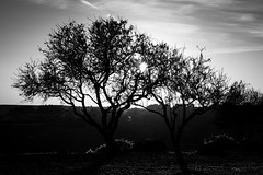 Two Trees (parenthesedemparenthese@yahoo.com) Tags: dem bw backlighting blackwandwhite ete landscape monochrome nb noiretblanc silhouettes sky trees arbres canoneos600d ciel contrejour ef50mmf18ii exterieur italia italie italy outdoors paisible paysage peacefull sicile sicilia summer