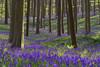 Z (dlorenz69) Tags: blue bluebell bluebells hyacinth hyazinthen hasenglöckchen atlantisches halle belgien belgium forest wald buchenwald beeches beech beechtrees spring frühling odour smell blüten flowers blossoms bloom blooming blühen