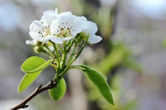 Beauté printanière. / Spring beauty (alainragache) Tags: greatphotographers canon 600d sigma nature macro spring printemps primavera frühling cerisier cherry blossom white garden jardin closup