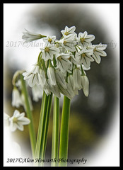 038 White Bluebell (Alan Howarth Photography) Tags: white bluebell flower wild outdoor green © plymouth devon uk homepark centralpark park 2017 alanhowarthphotography