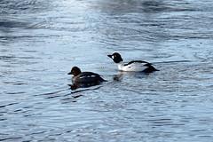 Telkkäpari / Goldeneye Couple (Tuomo Lindfors) Tags: iisalmi suomi finland dxo filmpack myiisalmi telkkä goldeneye paloisvirta vesi water lintu bird